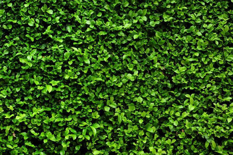 green-bush-texture-wall-mural_1000x
